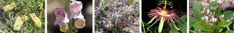 Southeastern Arizona wildflowers