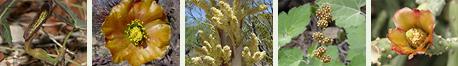 Southeastern Arizona Brown and Drab Arizona Flowers