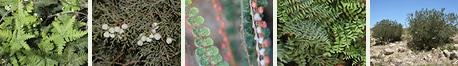 Southeastern Arizona Non-flowering Arizona Plants