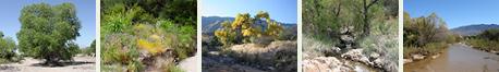 Southeastern Arizona Riparian and Wetland Plants