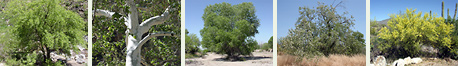 Southeastern Arizona Trees