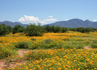 Summer Arizona Wildflowers