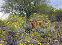 Spring Arizona Wildflowers