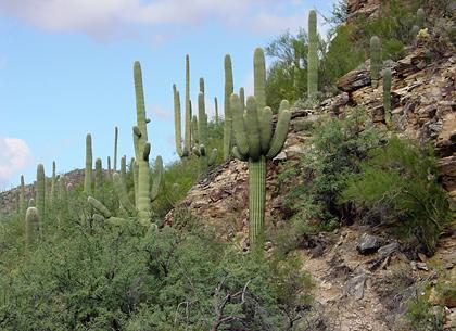 Saguaros (Carnegiea gigantea)