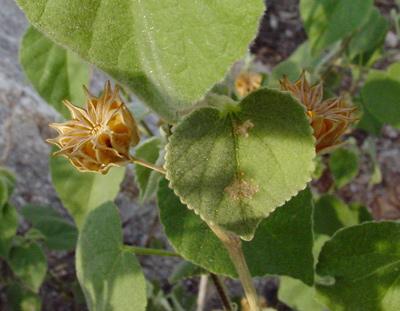 Abutilon abutiloides - Shrubby Indian Mallow (dry fruit)