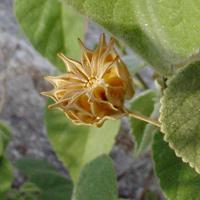 Conspicuous Fruit or Cones - Abutilon abutiloides – Shrubby Indian Mallow