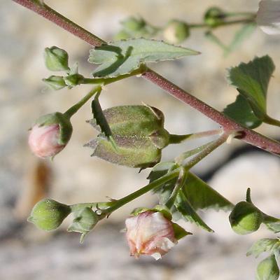 Abutilon incanum - Pelotazo, Hoary Abutilon (fruit)