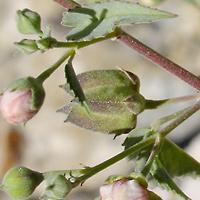 Conspicuous Fruit or Cones - Abutilon incanum – Pelotazo
