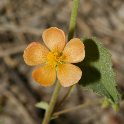 Abutilon parvulum - Dwarf Indian Mallow, Dwarf Abutilon (flower)