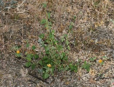 Abutilon parvulum - Dwarf Indian Mallow, Dwarf Abutilon