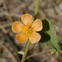 Orange Flowers - Abutilon parvulum – Dwarf Indian Mallow