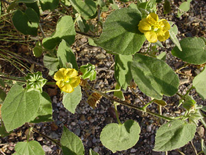 Abutilon abutiloides - Shrubby Indian Mallow