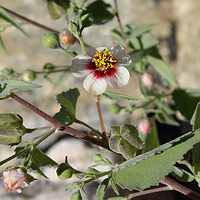 White Flowers - Abutilon incanum – Pelotazo