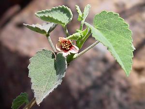 Abutilon incanum - Pelotazo, Hoary Abutilon (pink flower and leaves)