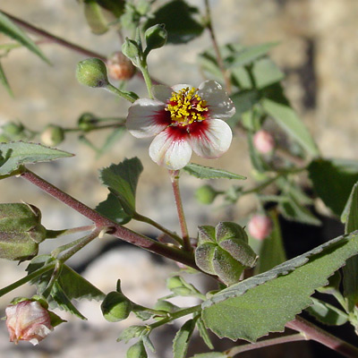 Abutilon incanum - Pelotazo, Hoary Abutilon (white flower)