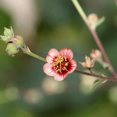 Abutilon incanum - Pelotazo, Hoary Abutilon (pink flower)
