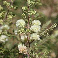 White Flowers - Acacia angustissima – Prairie Acacia