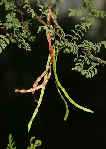 Seedpods on an Acacia constricta - Whitethorn Acacia, White-thorn Acacia