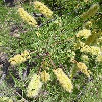 Yellow Flowers - Acacia greggii – Catclaw Acacia
