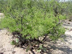 Acacia greggii - Catclaw Acacia
