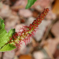 Red Flowers - Acalypha phleoides – Shrubby Copperleaf