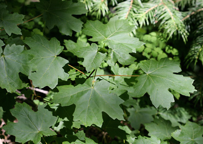 Acer grandidentatum - Bigtooth Maple, Canyon Maple, Big-toothed Maple, Uvalde Big-tooth Maple, Western Sugar Maple (leaves)