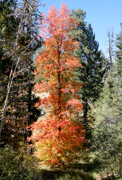 Acer grandidentatum - Bigtooth Maple, Canyon Maple, Big-toothed Maple, Uvalde Big-tooth Maple, Western Sugar Maple