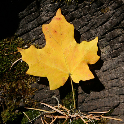 Acer grandidentatum - Bigtooth Maple, Canyon Maple, Big-toothed Maple, Uvalde Big-tooth Maple, Western Sugar Maple (yellow autumn leaf)