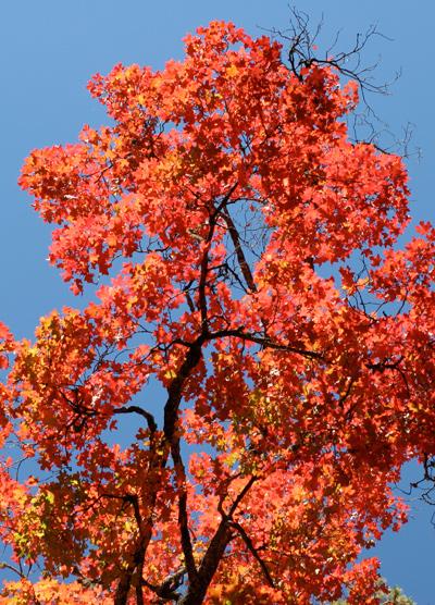 Acer grandidentatum - Bigtooth Maple, Canyon Maple, Big-toothed Maple, Uvalde Big-tooth Maple, Western Sugar Maple (red fall foliage)