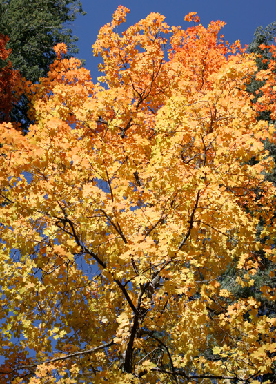 Acer grandidentatum - Bigtooth Maple, Canyon Maple, Big-toothed Maple, Uvalde Big-tooth Maple, Western Sugar Maple (orange fall foliage)