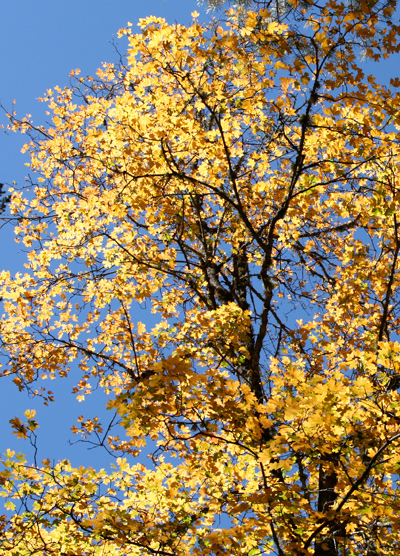 Acer grandidentatum - Bigtooth Maple, Canyon Maple, Big-toothed Maple, Uvalde Big-tooth Maple, Western Sugar Maple (yellow fall foliage)