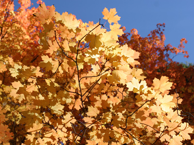 Acer grandidentatum - Bigtooth Maple, Canyon Maple, Big-toothed Maple, Uvalde Big-tooth Maple, Western Sugar Maple (orange autumn leaves)