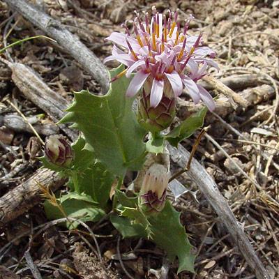 Acourtia nana - Dwarf Desertpeony, Dwarf Desert Peony, Desert Holly
