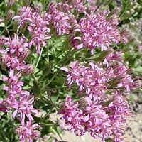 Pink Flowers - Acourtia wrightii – Brownfoot