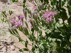 Acourtia wrightii - Brownfoot, Perezia