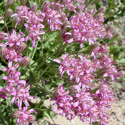 Pink flowers southeastern arizona wildflowers and plants acourtia nana dwarf desertpeony pink flowers acourtia wrightii brownfoot mightylinksfo