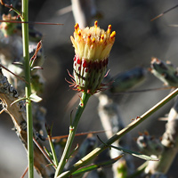 Yellow Flowers - Adenophyllum porophylloides – San Felipe Dogweed