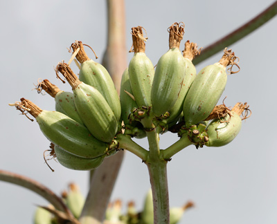 Agave palmeri - Palmer's Century Plant, Palmer's Agave (fruit)