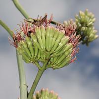 Green Flowers - Agave palmeri – Palmer's Century Plant