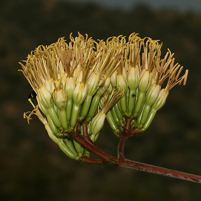 Agave palmeri - Palmer's Century Plant, Palmer's Agave (yellowish tan flowers)