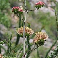 Pink Flowers - Agave palmeri – Palmer's Century Plant