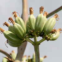 Conspicuous Fruit or Cones - Agave palmeri – Palmer's Century Plant