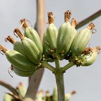 Conspicuous Fruit or Cones - Agave palmeri – Palmer's Century Plant