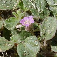 Pink Flowers - Allionia choisyi – Annual Windmills