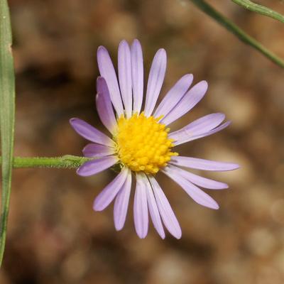 Almutaster pauciflorus - Alkali Marsh Aster, Marsh Alkali Aster, Alkaline Aster, Few-flower Aster, Few-flowered Aster (purple flower)