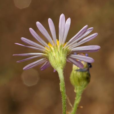 Almutaster pauciflorus - Alkali Marsh Aster, Marsh Alkali Aster, Alkaline Aster, Few-flower Aster, Few-flowered Aster (flower)