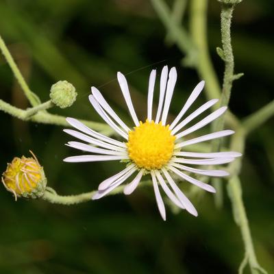 Almutaster pauciflorus - Alkali Marsh Aster, Marsh Alkali Aster, Alkaline Aster, Few-flower Aster, Few-flowered Aster (white flower)