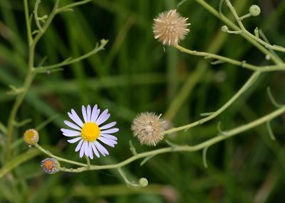 Almutaster pauciflorus - Alkali Marsh Aster, Marsh Alkali Aster, Alkaline Aster, Few-flower Aster, Few-flowered Aster (seeds)