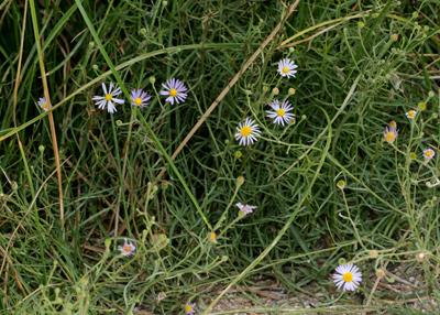 Almutaster pauciflorus - Alkali Marsh Aster, Marsh Alkali Aster, Alkaline Aster, Few-flower Aster, Few-flowered Aster