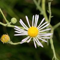 White Flowers - Almutaster pauciflorus – Alkali Marsh Aster